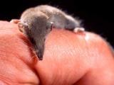 El mamífero más pequeño del mundo entró a Rusia sin visa